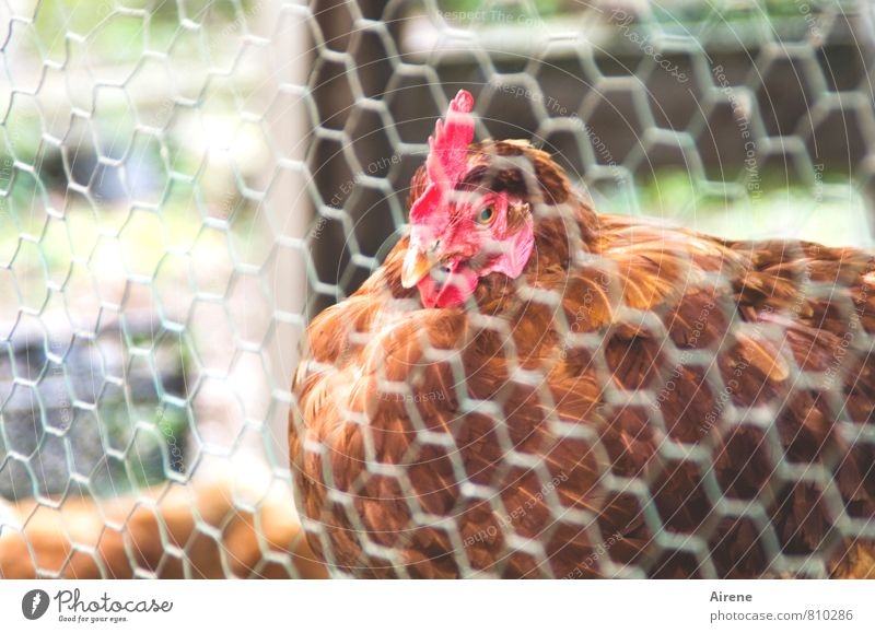 AST 7 happy? Animal Pet Farm animal Bird Barn fowl 1 Metal Network Sit Friendliness Curiosity Brown Red Contentment Rural Wire fence Mesh grid