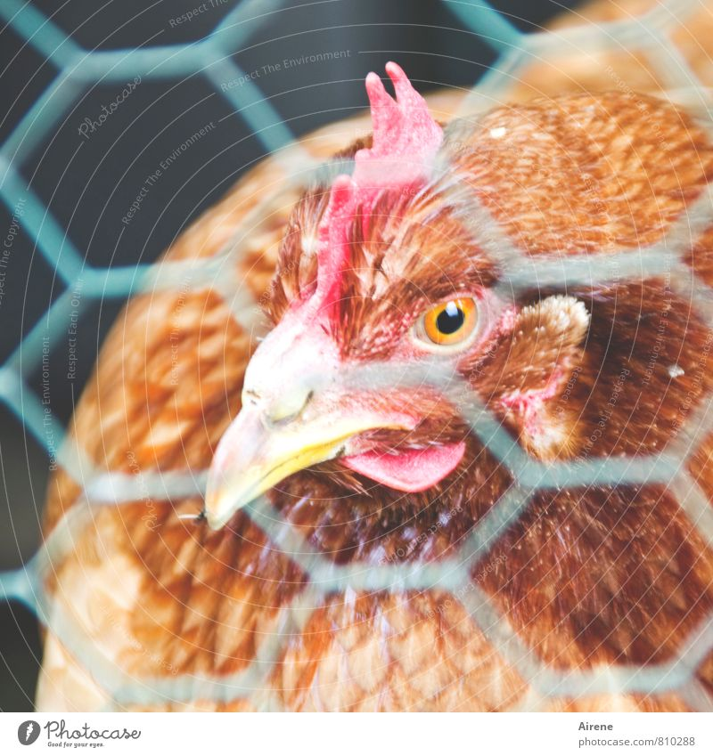 AST 7 | cross-linked chicken Pet Farm animal Barn fowl happiness Net birds Contentment Captured Vista Mesh grid Wire mesh Wire netting Animal face Metal