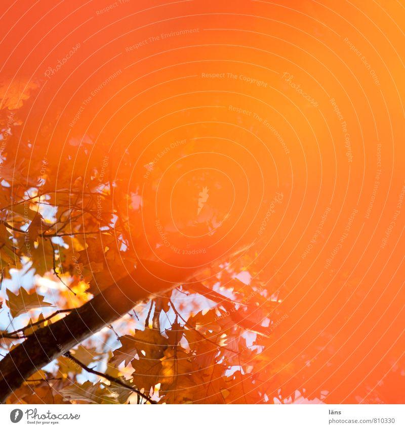 Autumn orange Environment Nature Beautiful weather Tree Leaf Oak tree Oak leaf Forest Orange Change Colouring Autumnal Branch Multicoloured Copy Space right