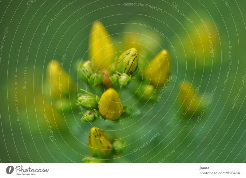 Plant Beautiful Green Blossom Gold Bud