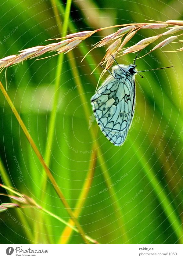 Just hang out... Meadow Butterfly Grass Feeler Ear of corn Insect Break Pattern Black Turquoise Green Yellow Brown Blade of grass Relaxation Blue-green