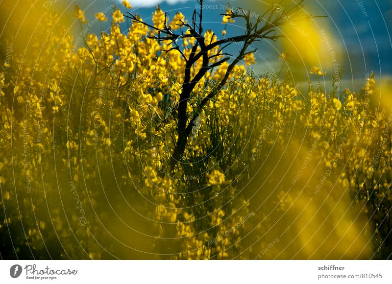 rapeseed Environment Nature Plant Sunlight Flower Bushes Blossom Wild plant Yellow Broom Broom blossom Blossoming Flowering plant Green pastures Bright Colours