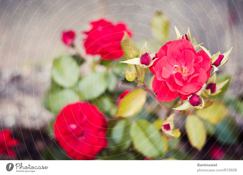 rosaceae Plant Summer Flower Rose Garden Beautiful Red Love Rose plants Rose blossom Rose leaves Blossoming Colour photo Exterior shot Copy Space left