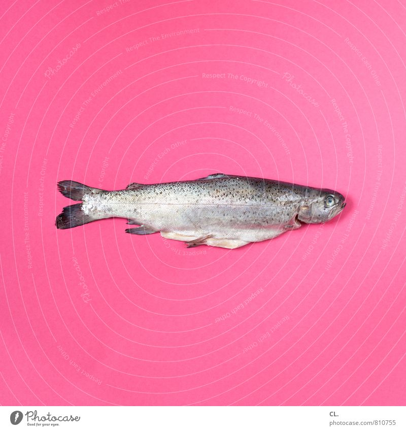 trout Food Fish Nutrition Animal Dead animal Trout 1 Exceptional Pink Esthetic Colour Whimsical Colour photo Interior shot Studio shot Deserted Day
