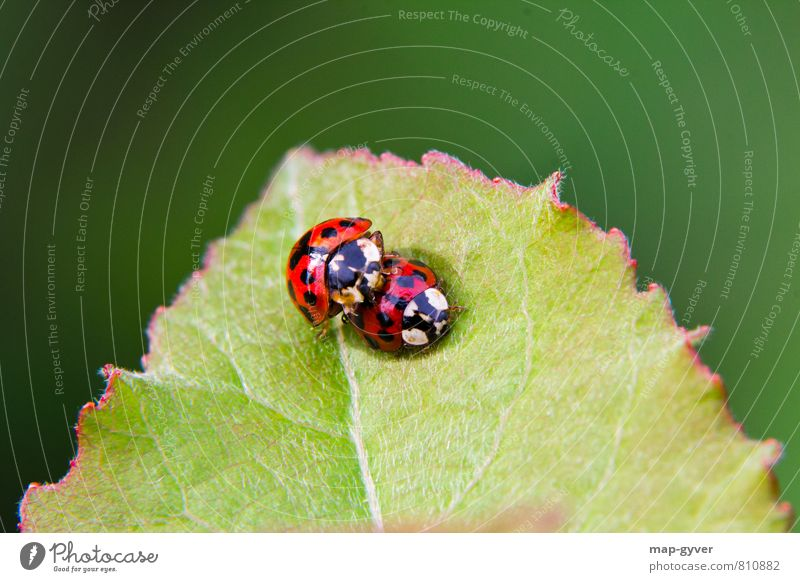 Teen Love Summer Leaf Foliage plant Wild plant Animal Beetle 2 Pair of animals Eroticism Together Green Red Black Trust Agreed Love of animals Sex Colour