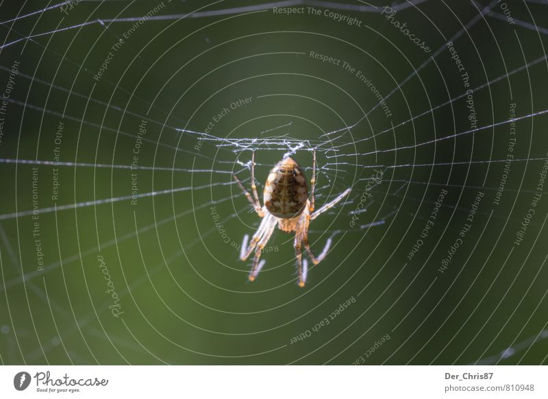 The net of the hunter Environment Nature Animal Wild animal Spider 1 Build Observe Catch To feed Hang Hunting Crawl Wait Esthetic Threat Dark Disgust Elegant