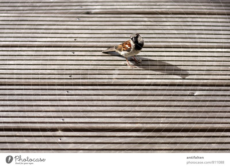 Little sparrow very big Balcony Terrace Wooden board Wooden floor Animal Bird Animal face Wing Claw Sparrow 1 Nail Observe Sit Brash Friendliness Natural Brown