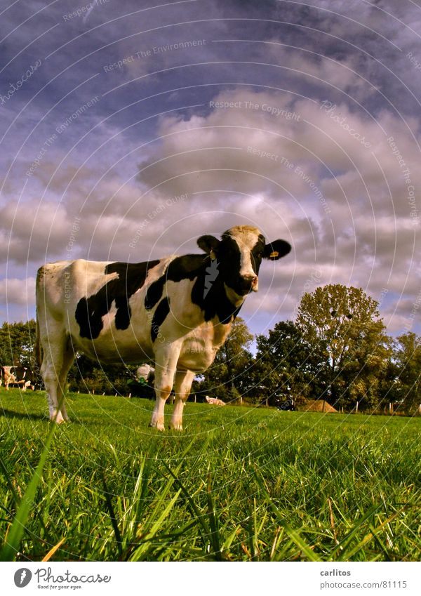Sky Green Blue Clouds Animal Meadow Curiosity Agriculture Cow Cattle Pasture Cattle Pasture Cattle breeding Green space Country life Livestock breeding