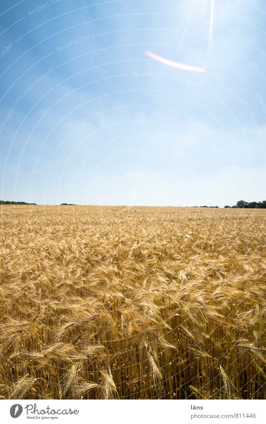 golden Grain Summer Sun Agriculture Forestry Landscape Sky Horizon Plant Agricultural crop Field Growth Blue Yellow Gold Sowing Sunbeam Exterior shot Deserted