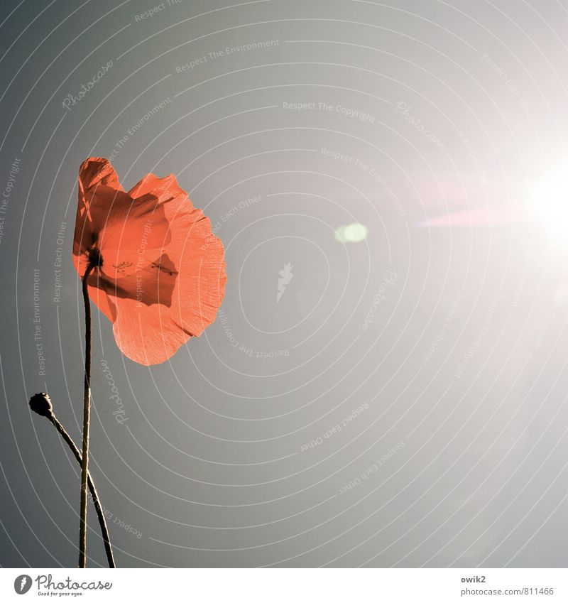 contact Environment Nature Landscape Plant Cloudless sky Sun Climate Weather Beautiful weather flowers bleed Poppy Poppy blossom Poppy capsule Illuminate Growth