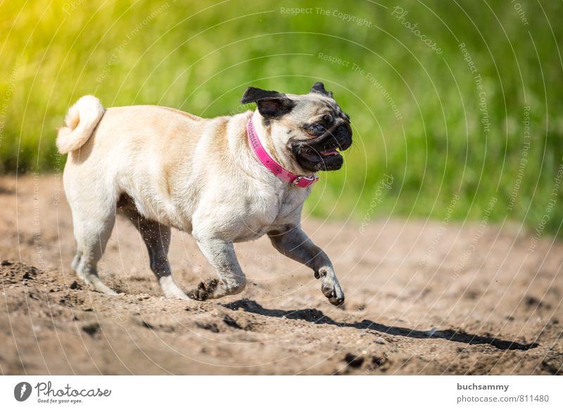 sandpiper Beach Sand Lakeside River bank Animal Pet Dog 1 Going Cool (slang) Cute Speed Brown Green Pink Black eyes Beige Neckband Watchdog fashion dog Pug