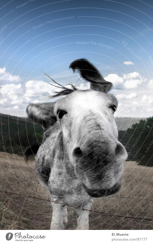 Joy Animal Gray Funny Horse Pasture Fence Mammal Humor Donkey