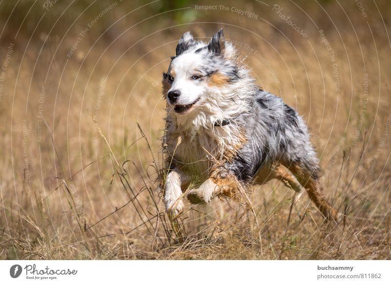 Fast Australian Shepherd Joy Leisure and hobbies Nature Summer Grass Meadow Pelt Pet Dog 1 Animal Running Romp Esthetic Athletic Happiness Happy Speed Blue