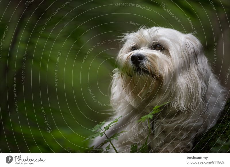 Havanese in the countryside Nature Plant Animal Grass Forest Pelt Long-haired Pet Dog 1 Small Green White Branch companion dog bichon fur nose Havanais youthful