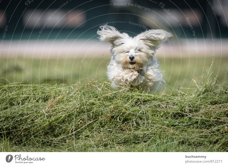 Dog White Joy Animal Meadow Grass Playing Small Going Jump Field Action Living thing Pelt Pet Long-haired