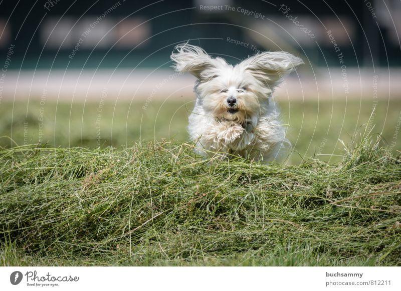 jug ears Joy Playing Animal Grass Meadow Field Pelt Long-haired Pet Dog 1 Going Jump Small White companion dog bichon fur nose Havanais Havanese youthful