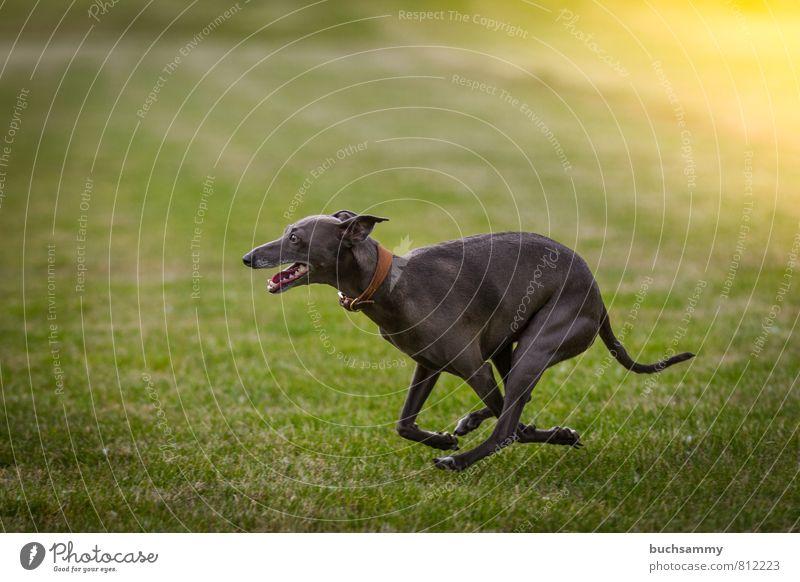 wind chimes Joy Animal Grass Meadow Pet Dog 1 Glittering Walking Elegant Speed Gray Green Neckband Living thing sunshine Greyhound Wind chime best friend