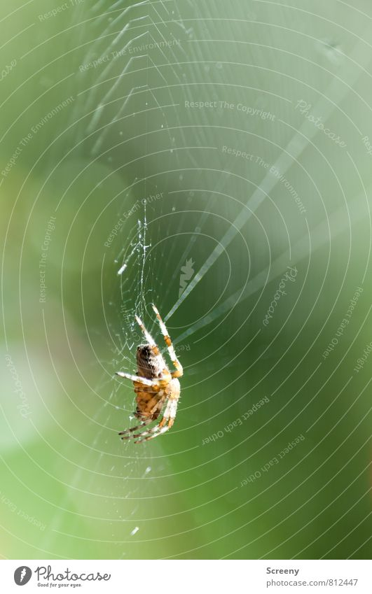 Tension Nature Animal Spring Summer Spider 1 Sit Wait Threat Small Brown Green Watchfulness Patient Calm Fear Dangerous Spider's web Blur Colour photo