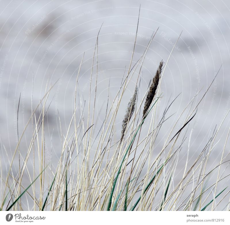 Ammophila ammophila Common Reed Marsh grass Reeds Grass Weed Seed Blade of grass Nature Plant Botany Herbs and spices Environment fronds Soft Coast Floral stem