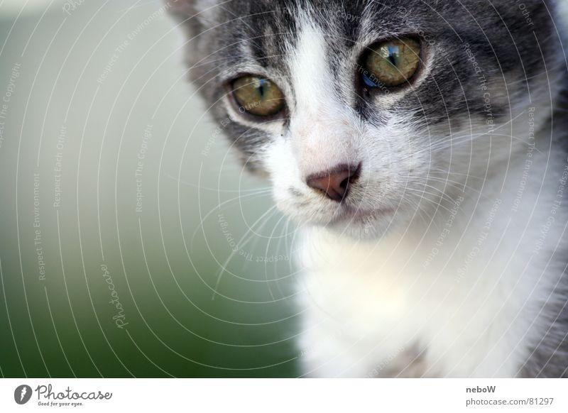 Eyes Animal Gray Cat Pelt Motionless Looking Domestic cat