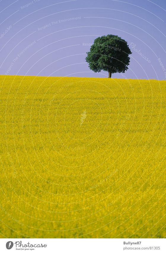 Rapeseed and tree Canola Flower Tree Agriculture Yellow Green Summer Landscape Sky