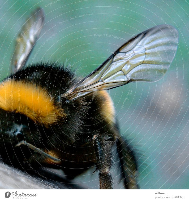 Bumblebee, close your eyes and go! Bumble bee Insect Wing Hymenoptera Soft Yellow Black Pelt Hair Colour photo Exterior shot Close-up Front view