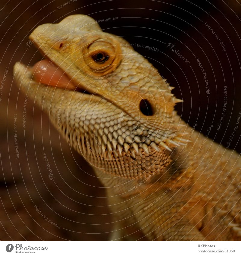 lizard mink Saurians Animal Thorny Funny Zoo Terrarium Snapshot Provocative Brash Spirited Easygoing Joy Macro (Extreme close-up) Close-up tonguing Tongue Eyes