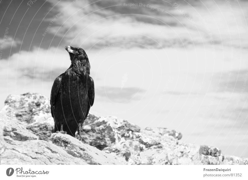 Raven SW No. 1 Scavenger Characteristic Evil Holy Common Raven Crow Fairy tale Raven birds Devil Animal Federal State of Tyrol Bird Wisdom Clouds Austria