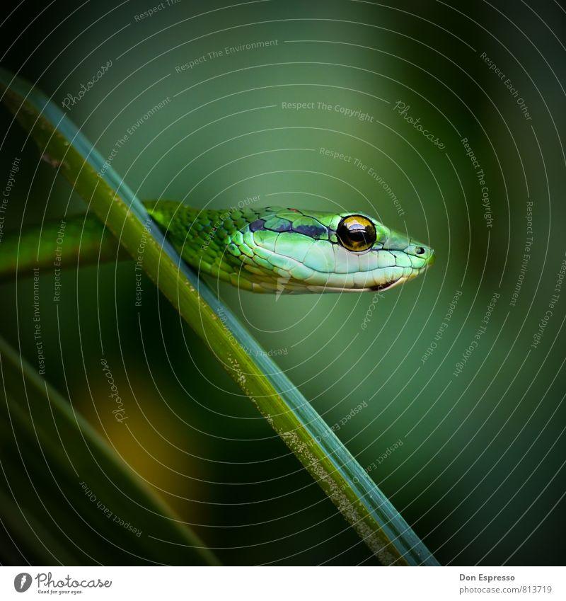 boom slang Environment Nature Animal Virgin forest Wild animal Snake 1 Threat Exotic Green Fear Fear of death False Poison Ambush Furtive Set of teeth