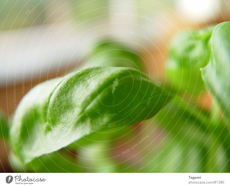 Basil II Green Herbs and spices Italy Plant Juicy Fresh Pot Pot plant Crunchy Aromatic Healthy Restaurant Mediterranean Sauce Foliage plant Botany Dressing Meal