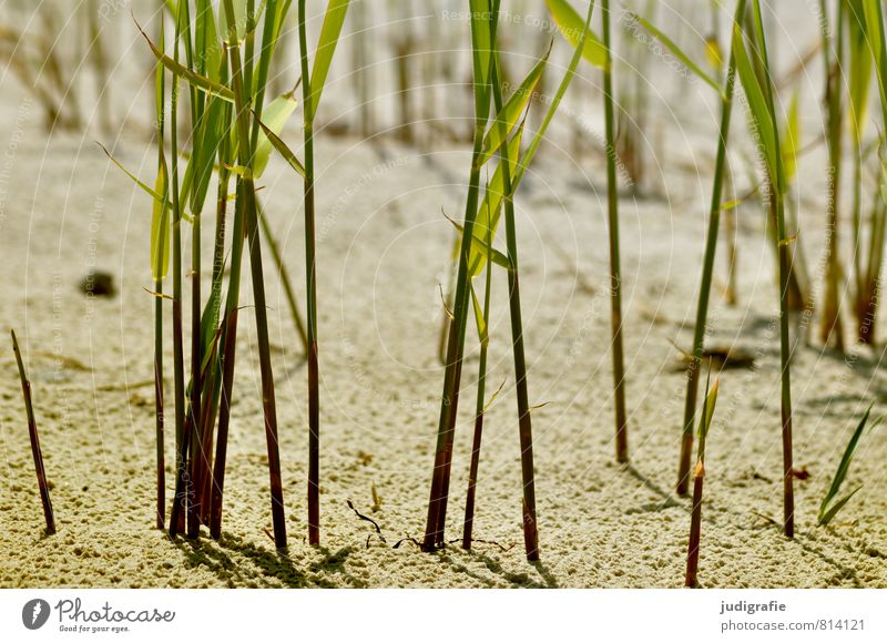 beach Nature Plant Sand Coast Beach Baltic Sea Growth Natural Wild Green Moody Environment marram grass Common Reed Grass Colour photo Exterior shot Deserted
