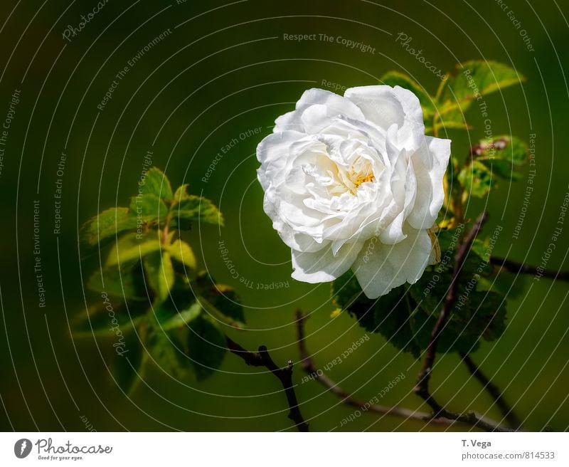 Nature Plant Beautiful Green White Summer Flower Emotions Love Blossom Natural Happy Garden Elegant Esthetic Romance