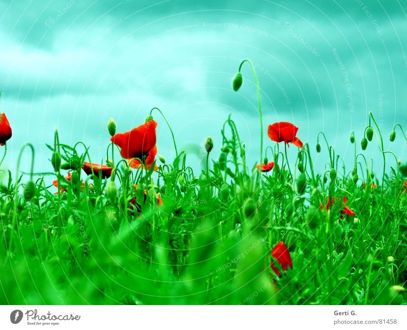 Sky Green Blue Red Summer Clouds Grass Mountain Wind Closed Fresh Lawn Vantage point Hill Blossoming Poppy
