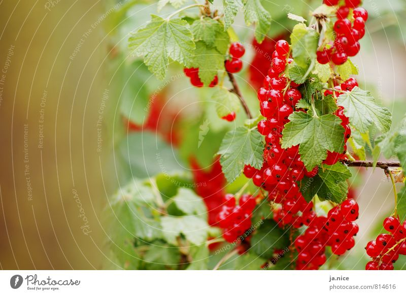 berry Nature Summer Plant Bushes Leaf Redcurrant Garden Eating Fresh Healthy Delicious Natural Sour Green Environment Colour photo Exterior shot Deserted Day
