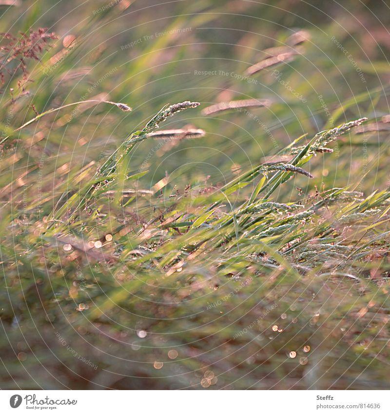 gentle summer wind bends the grasses in warm afternoon light Wind Grass blades of grass Grass tips Meadow light wind summer breeze soft wind Warm light