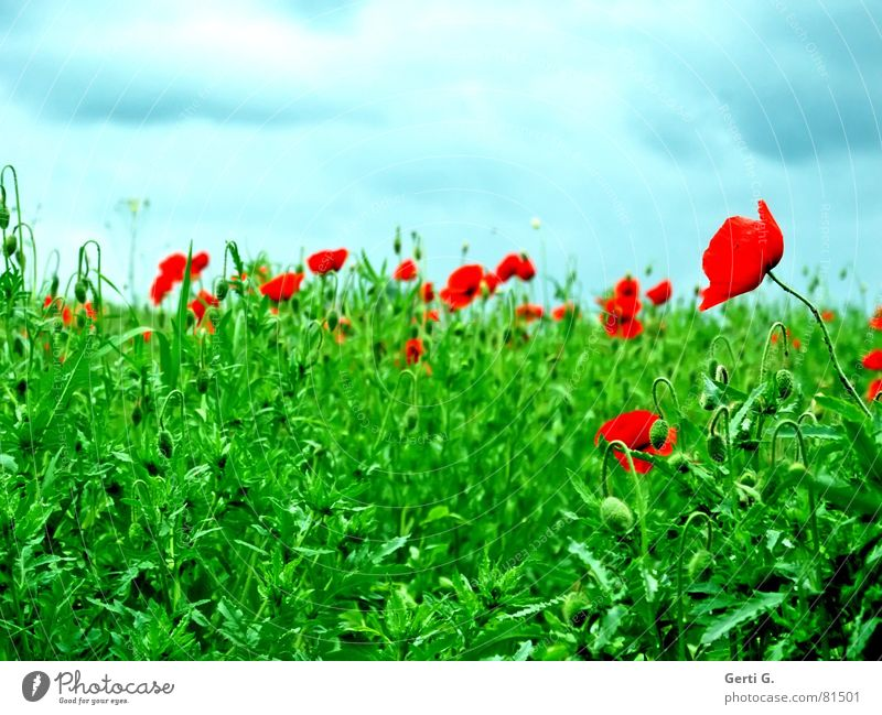 """Did you mean """"grunt""""? Bursting Poppy Grass Green Summer Fresh Red Sky blue Clouds Smear Fragrant Weigh Hill Whim Closed Flower meadow Blossoming Blue Wind Lawn"""