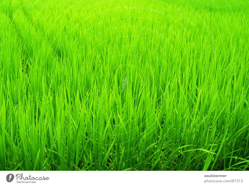 Green green green Paddy field Field Plant Japan Asia China Nutrition Blade of grass Straw Vacation & Travel Food Green space Rice Botany Part of the plant Park