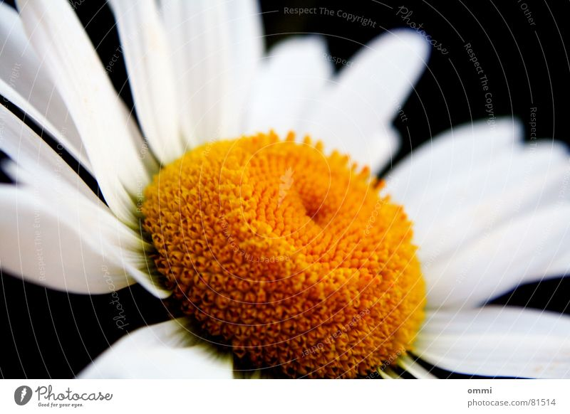 White Beautiful Plant Flower Yellow Life Blossom Esthetic Pure Full Pollen Blossom leave Graceful Perfect Pistil Charming