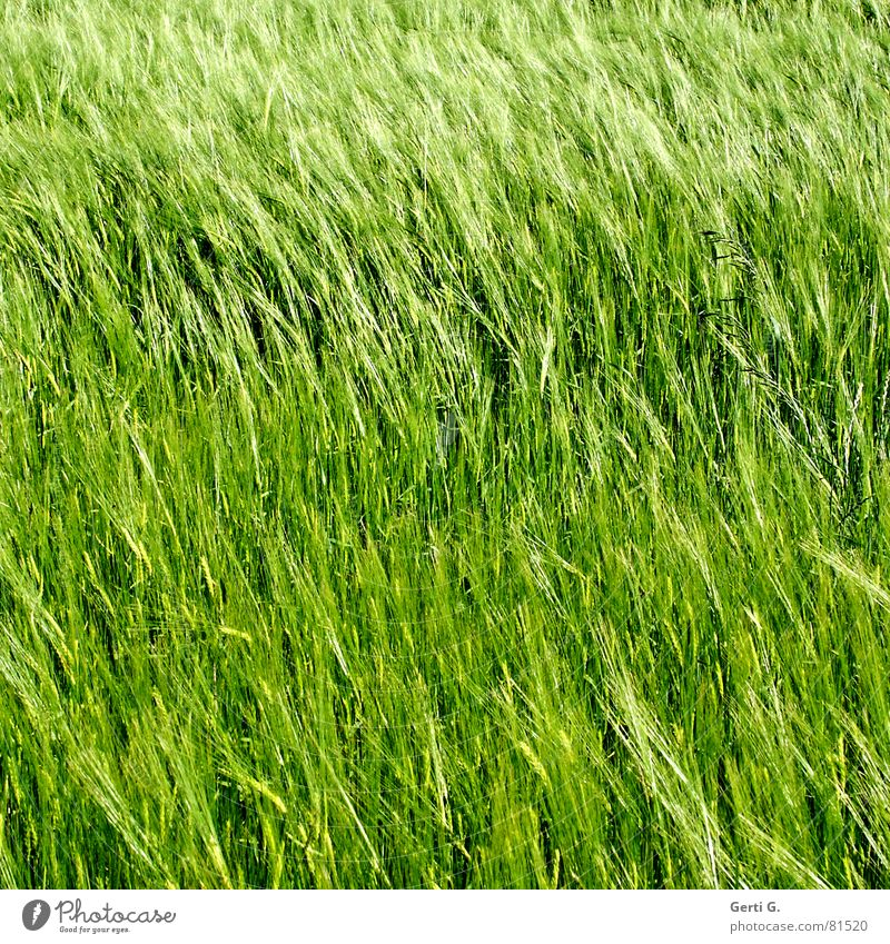 Green Summer Nutrition Field Wind Food Crazy Square Agriculture Harvest Grain Diagonal Cornfield Ear of corn Hiding place Sowing