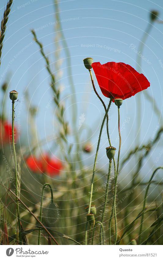 By the wayside Schleswig-Holstein Poppy Red Summer Grass Calm Flower Field Illuminate