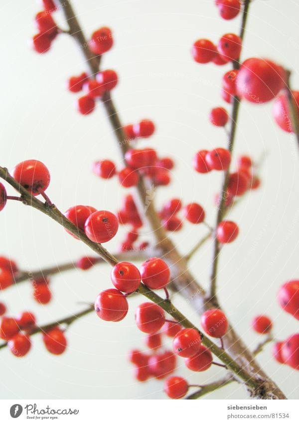 Nature Tree Plant Red Winter Colour Garden Park Contentment Fruit Circle Round Branch Point Sphere Bouquet
