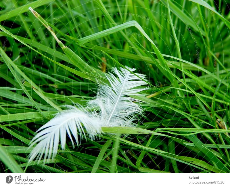 Green Colour Calm Meadow Grass Bird Wind Feather Soft Lawn Pasture Blade of grass Smooth Goose Peaceful Poultry