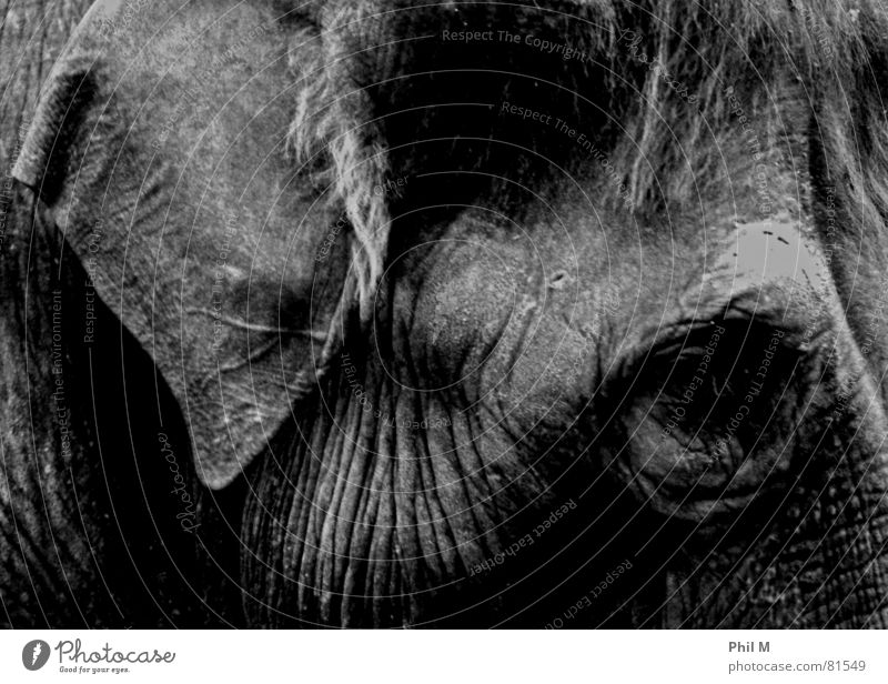 pachyderms Elephant Grief Wrinkles Gray Dark Large Black Mammal Black & white photo dumbo wilhelma Sadness Skin Eyes Ear Low-key