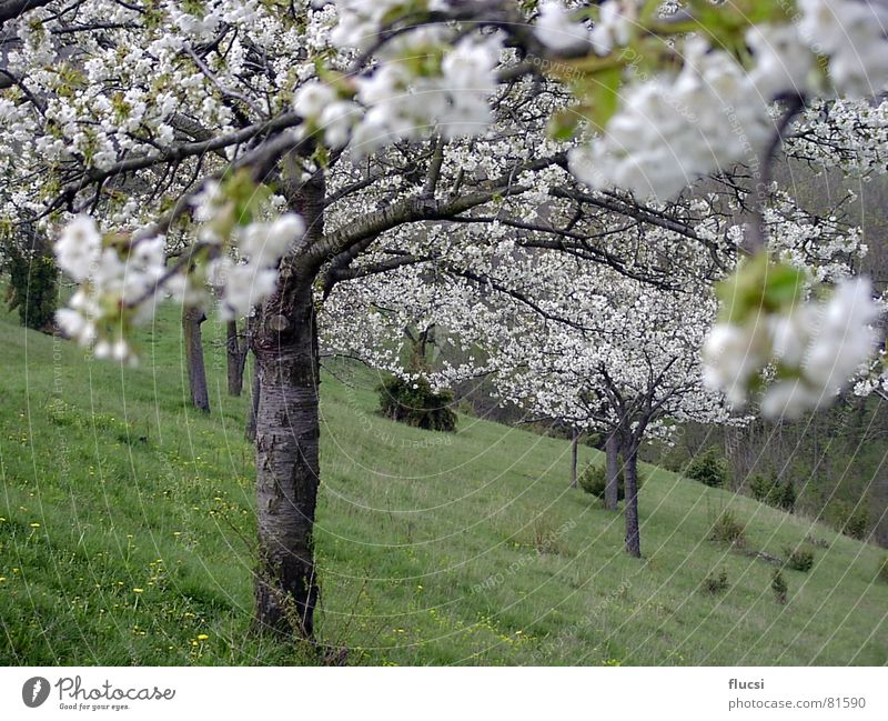Nature Tree Green Spring Blossoming Cherry