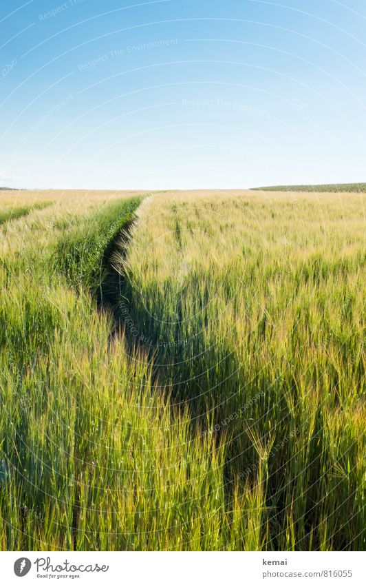 summer track Environment Nature Landscape Plant Sky Cloudless sky Sunlight Summer Beautiful weather Warmth Agricultural crop Barley Cornfield Grain Grain field