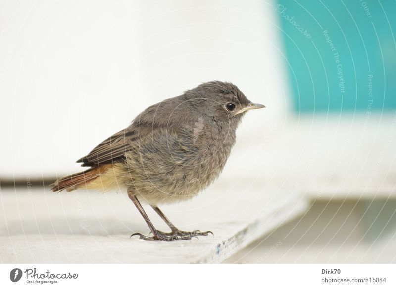 Red-tailed teenager, skeptical Summer Animal Wild animal Bird Songbirds Black redstart 1 Baby animal Wooden board Observe Looking Stand Small Curiosity Cute