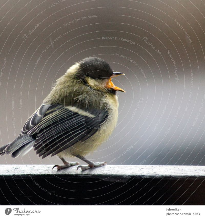 Singing in the rain Weather Bad weather Rain Animal Wild animal Bird Tit mouse 1 Crouch Dance Fat Small Round Brown Yellow Gray To console Threat Serene Cold