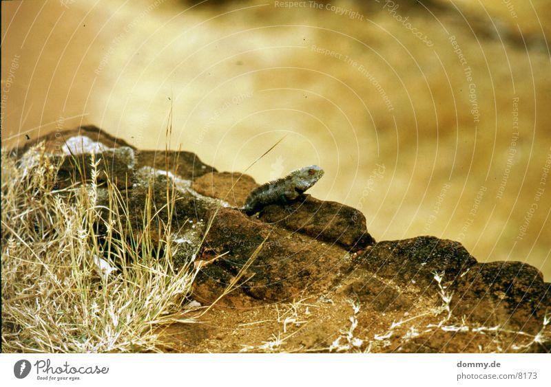 lizard Saurians Dinosaur Bushes Sri lanka
