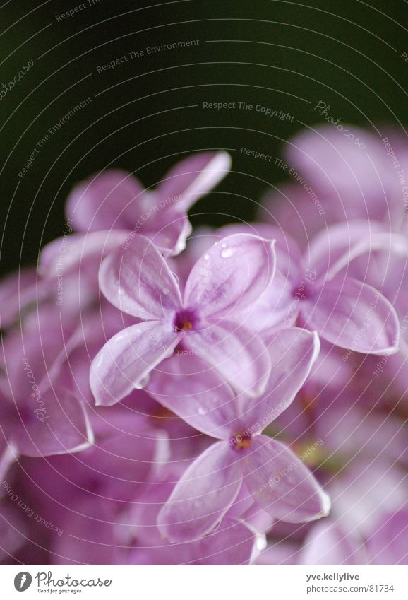 lilac Lilac Violet Near Blossom Black Close-up Macro (Extreme close-up) lilac blossom light violet