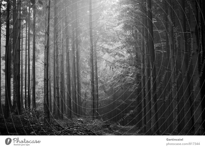 forests Environment Nature Landscape Beautiful weather Tree Forest Dark Coniferous trees Clearing Woodground Fir tree Coniferous forest Black & white photo